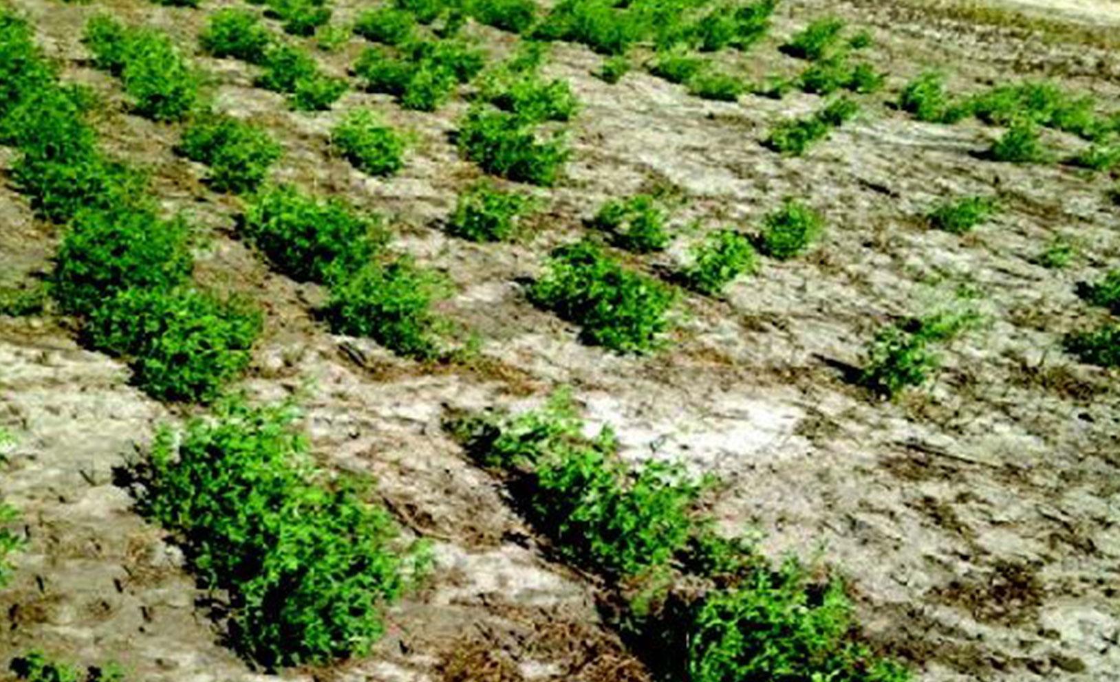 W l alfalfas haymaker newsletter for Soil salinization